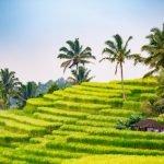 Wie wird Reis angebaut?